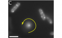 Impact of fluorescent protein fusions on the bacterial flagellar motor